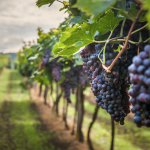 Blockchain per la Smart Agrifood:  EY presenta Wine Blockchain a difesa del Vino Made in Italy